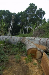 LoggingMahogany op achtergrond bos waar gibbons leven, by Inge Tielen