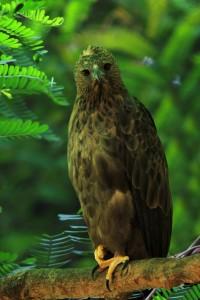 changeable hawk eagle dark morph