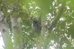 silvery gibbon 2