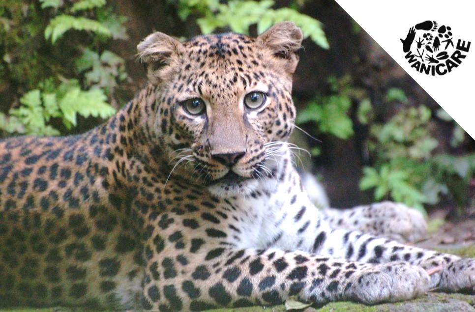 javaans luipaard javaanse panter Wanicare Cikananga I