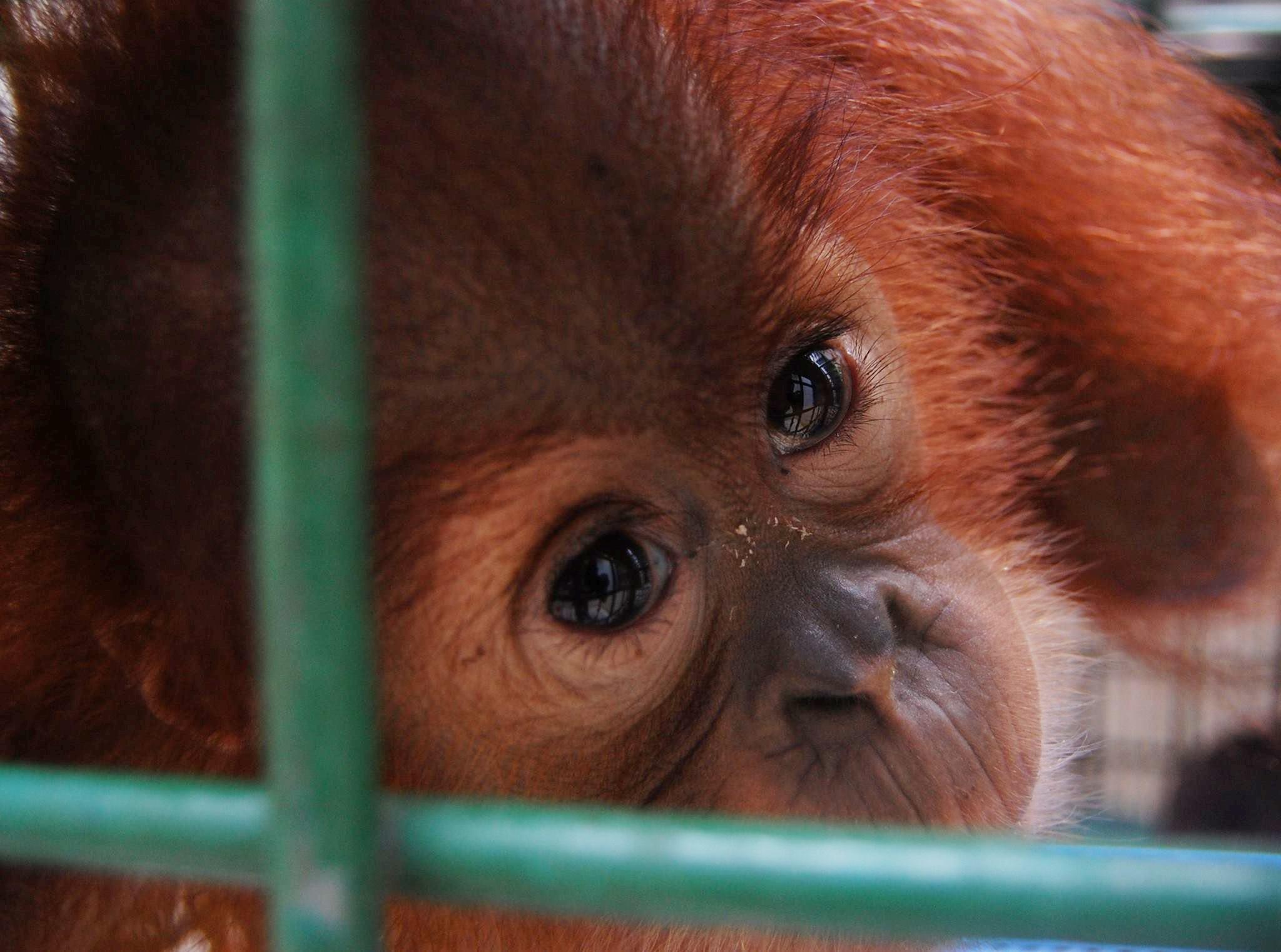 orangutanjuly2016-2