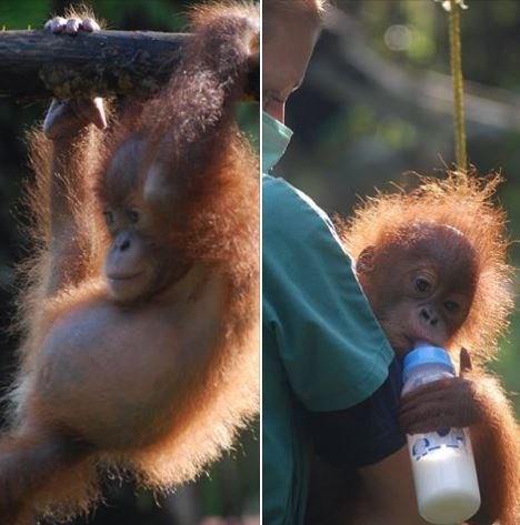 orangutanjuly2016-3