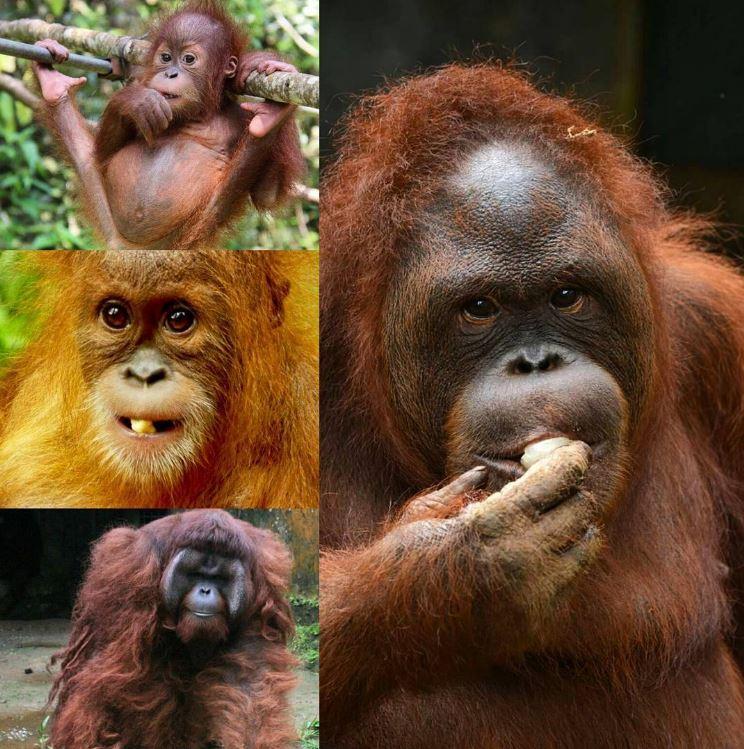 Orangutan day2016