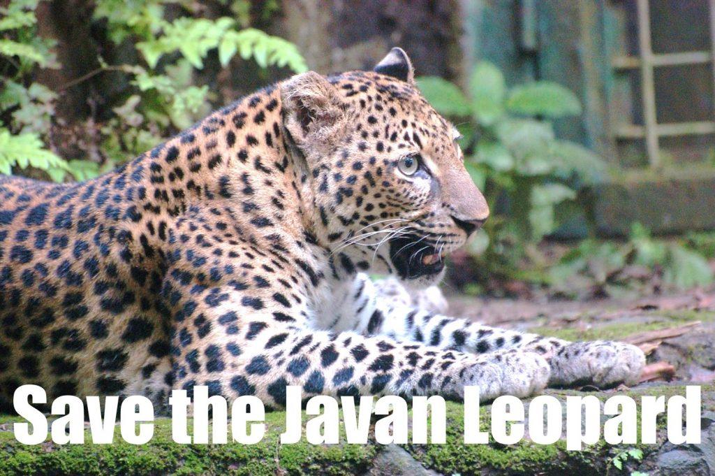 Javan Leopard wanicare II