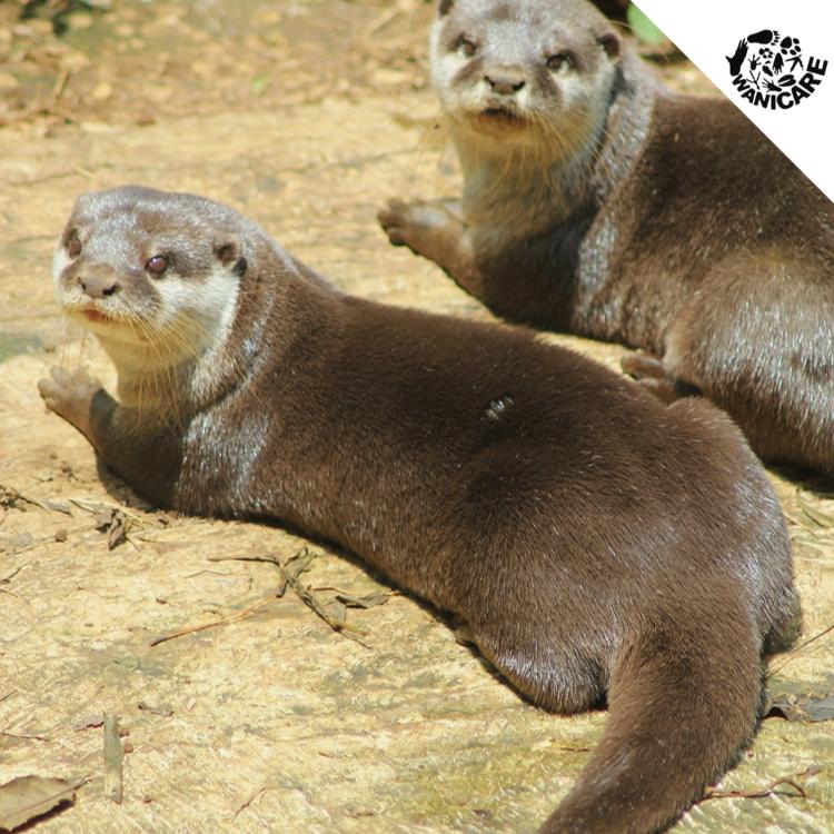 Otters wanicare Cikananga 2017