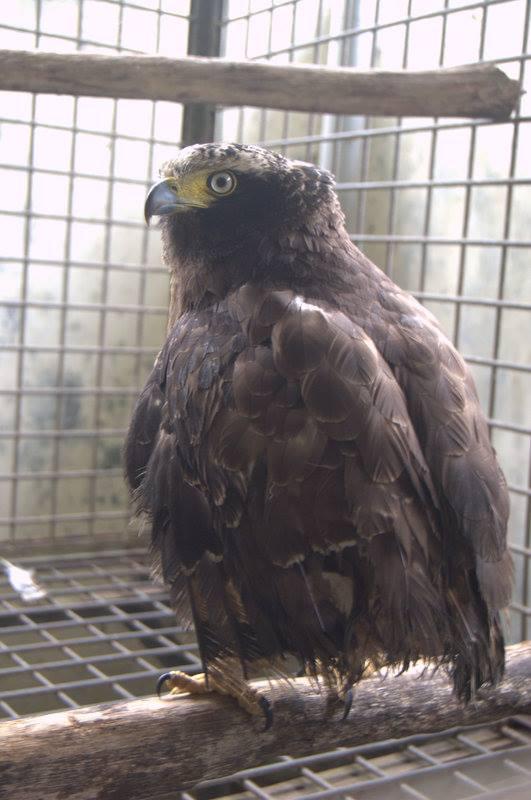 Wanicare release raptor Cikananga