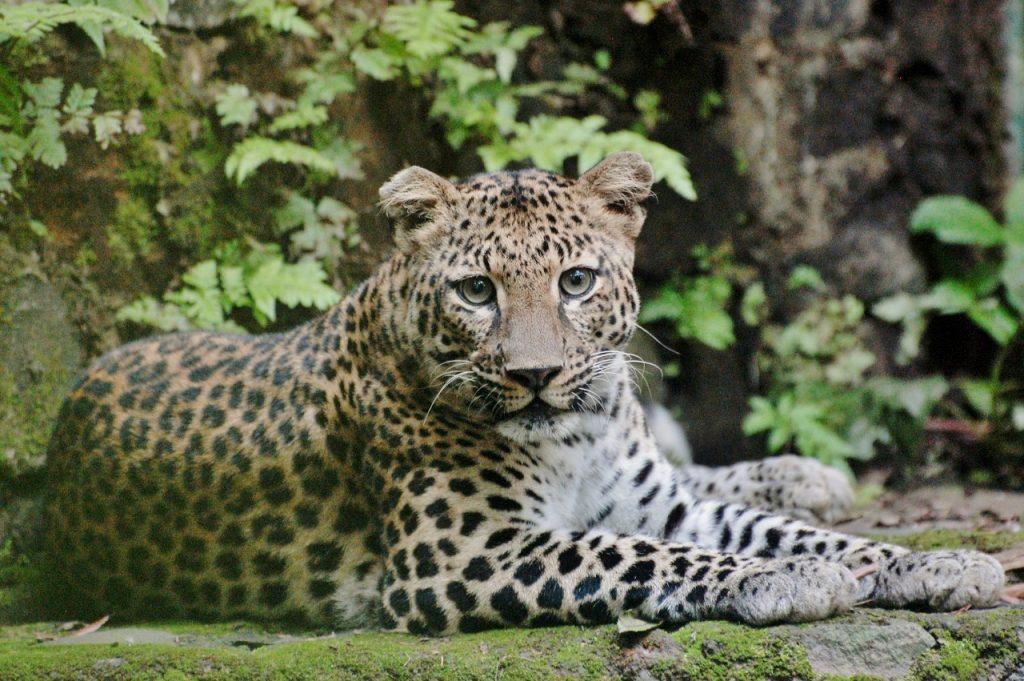 Javan Leopard stichting Leeuw Wanicare Cikananga
