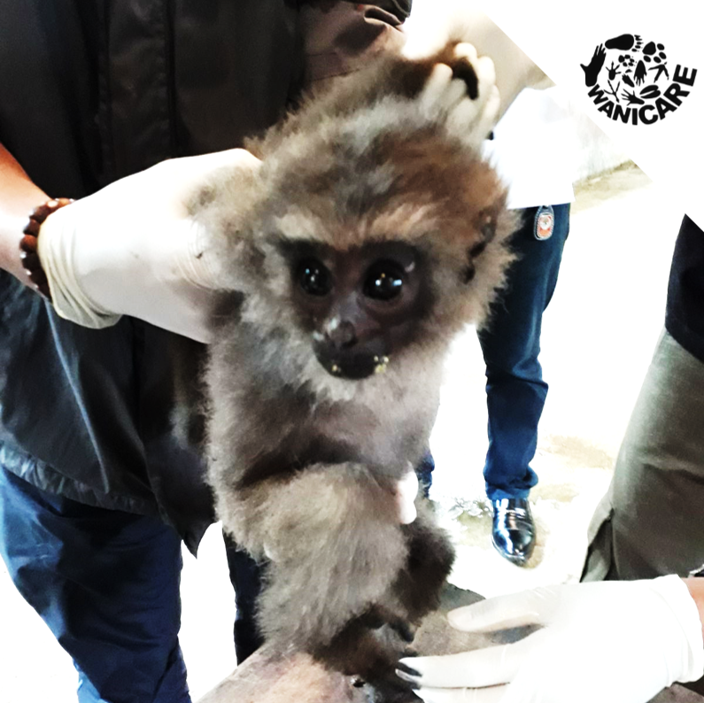Gibbon Cikananga Wanicare Rescue Indonesia