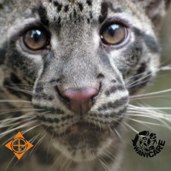 Clouded Leopard UN Wildlife 2018 Cikananga Leopard Java Leopards