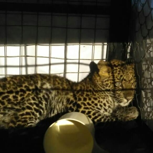 Cikananga Javan Leopard Wanicare 2