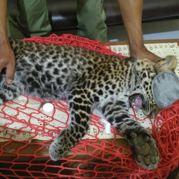 Cikananga Javan Leopard Wanicare1