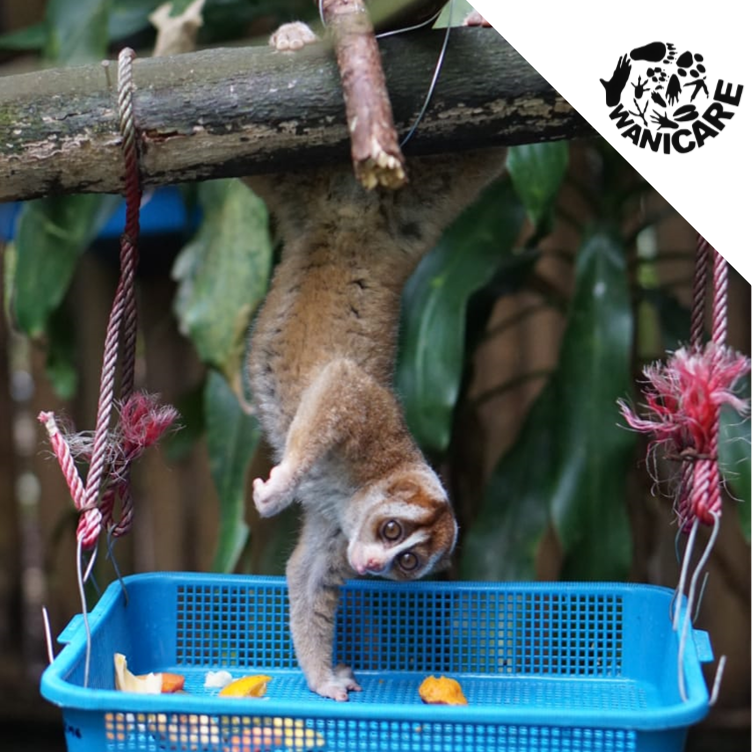 Wanicare Slow loris Cikananga enrichment