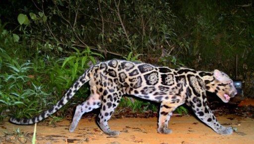 Clouded-Leopard-Aspinall-Wanicare-Cikananga