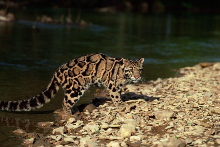 Mainland-Clouded-Leopard-Cikananga