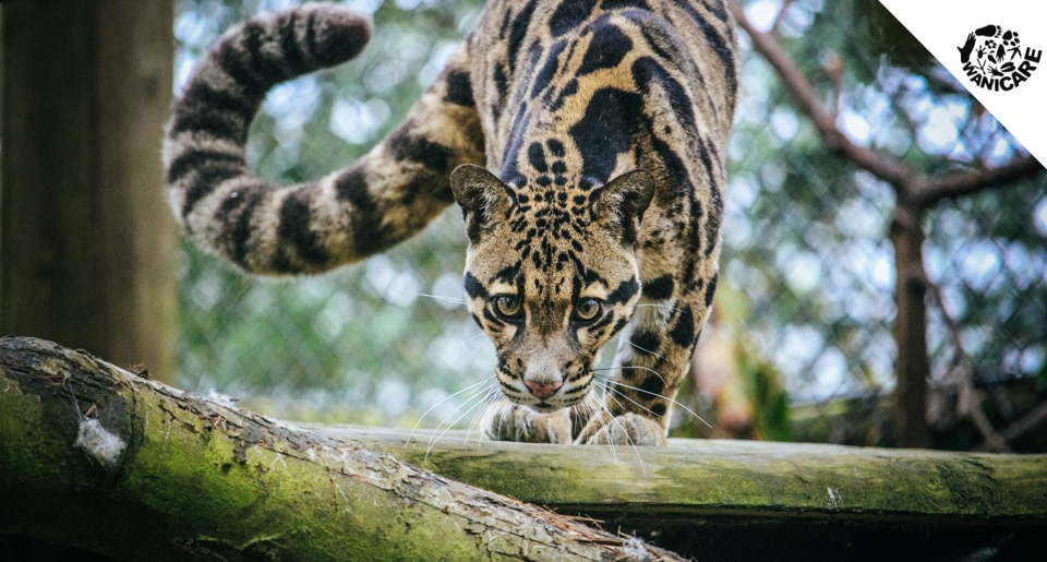 http://www.wanicare.com/wp-content/uploads/2018/08/international-clouded-leopard-day-wanicare-cikananga.png