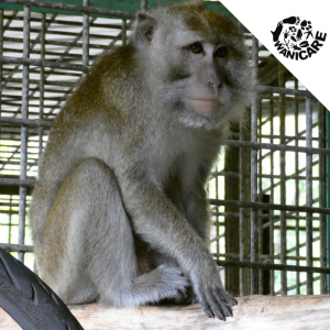 Cikananga rescue Wanicare macaque