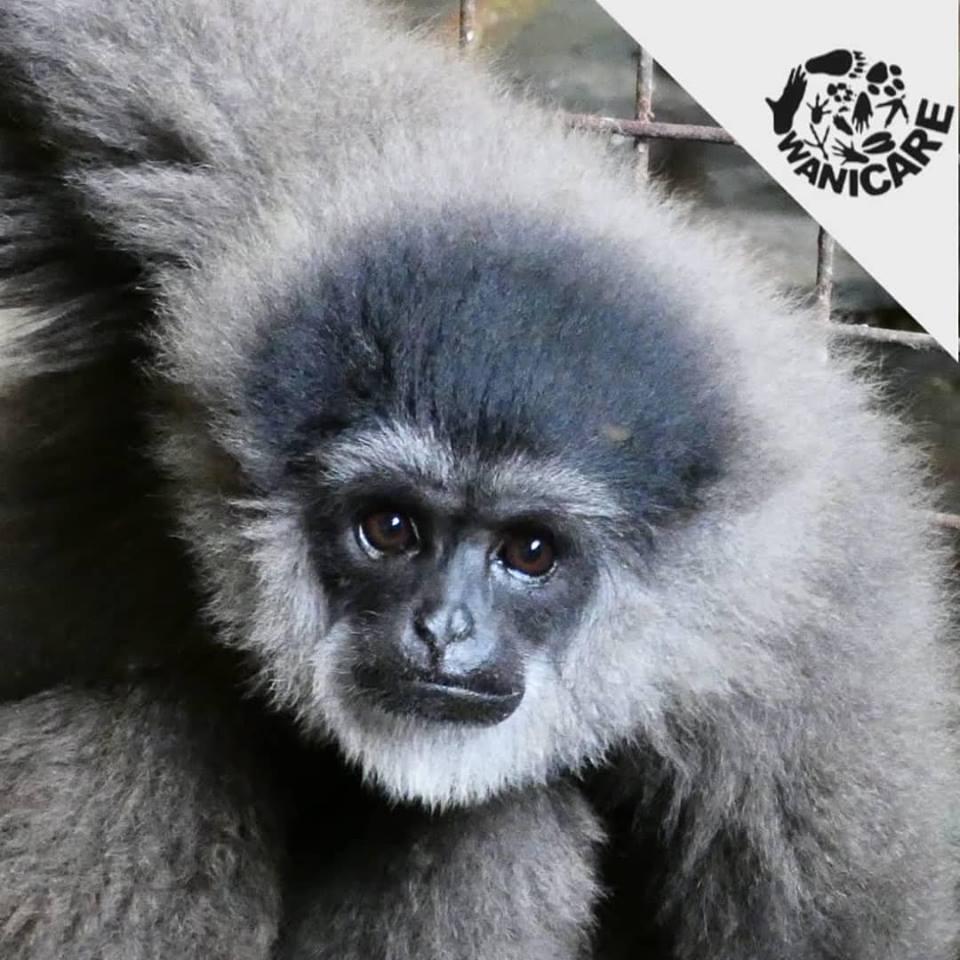 Cikananga Aspinall Wanicare Foundation Gibbon