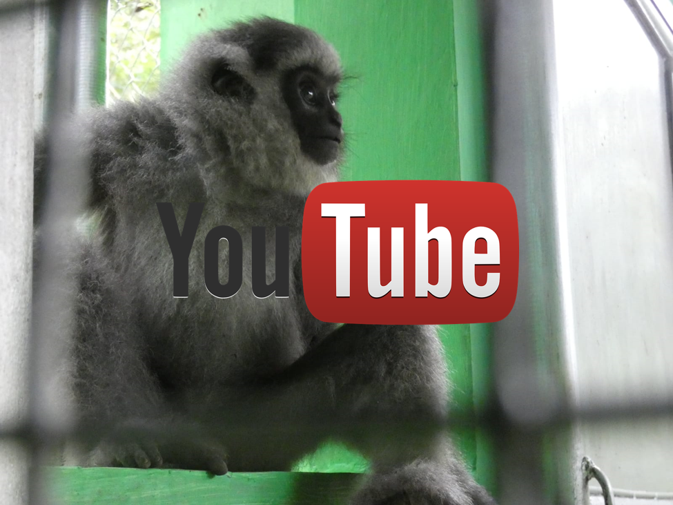 Youtube Gibbon Cikananga Wildlife Wanicare